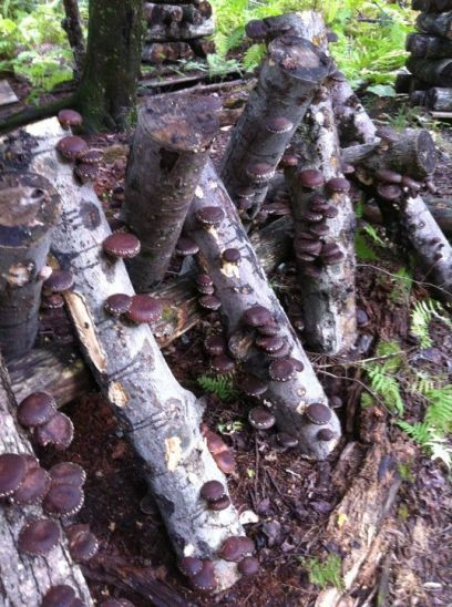 shiitake flush ready for harvest